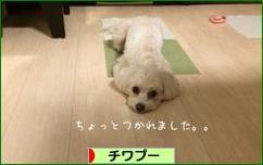 にほんブログ村 犬ブログ チワプーへ