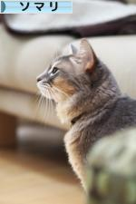 にほんブログ村 猫ブログ ソマリへ
