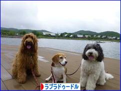 にほんブログ村 犬ブログ ラブラドゥードルへ