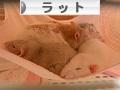 にほんブログ村 小動物ブログ ラットへ