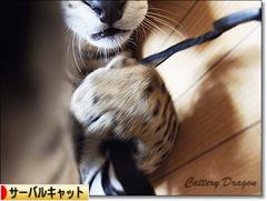 にほんブログ村 猫ブログ サーバルキャットへ