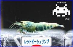 にほんブログ村 観賞魚ブログ レッドビーシュリンプへ