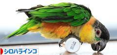 にほんブログ村 鳥ブログ シロハラインコへ