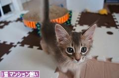 にほんブログ村 猫ブログ 猫 マンション飼いへ
