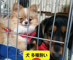 にほん ブログ村 犬ブログ 犬 多種飼い(多犬種飼 い)へ
