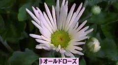 にほんブログ村 花・園芸ブログ オールドローズへ