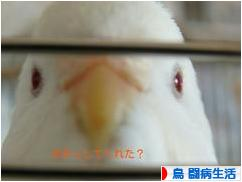 にほんブログ村 鳥ブログ 鳥 闘病生活へ