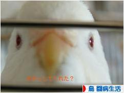 にほんブログ村 鳥ブログ 鳥 闘病生活へ