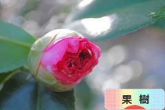 にほんブログ村 花・園芸ブログ 果樹のみ(家庭菜園)へ