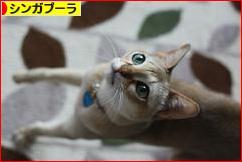 にほんブログ村 猫ブログ シンガプーラへ