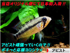 にほんブログ村 観賞魚ブログ アピストへ