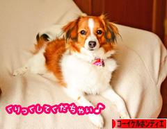 にほんブログ村 犬ブログ コーイケルホンディエへ