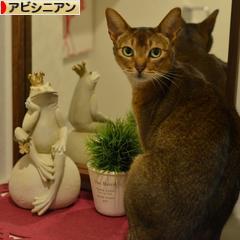 にほんブログ村 猫ブログ アビシニアンへ