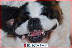 にほんブログ村 犬ブログ セントバーナードへ