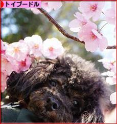 <br />にほんブログ村 犬ブログ トイプードルへ