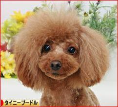 にほんブログ村 犬ブログ タイニープードルへ