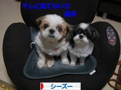 http://dog.blogmura.com/shihtzu/img/originalimg/0000759229.jpg