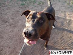 にほんブログ村 犬ブログ アメリカンピットブルテリアへ