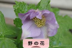 にほんブログ村 花・園芸ブログ 野の花へ