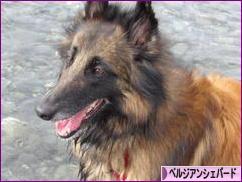 にほんブログ村 犬ブログ ベルジアンシェパードへ