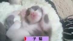 にほんブログ村 猫ブログ 子猫へ