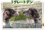 にほんブログ村 犬ブログ グレートデンへ