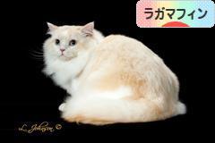 にほんブログ村 猫ブログ ラガマフィンへ