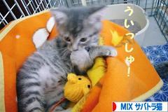 にほんブログ村 猫ブログ MIXサバトラ猫へ