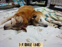にほんブログ村 犬ブログ 犬 闘病記(永眠)へ