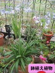 にほんブログ村 花・園芸ブログ 鉢植え植物へ