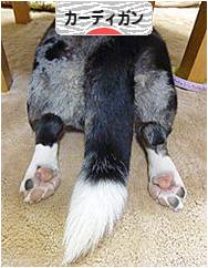 にほんブログ村 犬ブログ ウェルシュコーギーカーディガンへ