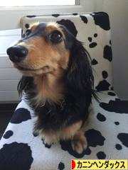 にほんブログ村 犬ブログ カニンヘンダックスフンドへ