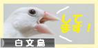 にほんブログ村 鳥ブログ 白文鳥へ