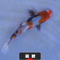 にほんブログ村 観賞魚ブログ コイ・錦鯉へ