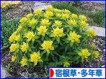 にほんブログ村 花・園芸ブログ 宿根草・多年草へ