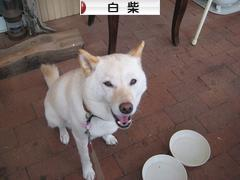 白柴犬ブログランキング参加用リンク一覧