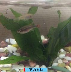 にほんブログ村 観賞魚ブログ アカヒレへ
