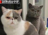 にほんブログ村https://admin.blog.fc2.com/control.php?mode=control&process=entry 猫ブログ エキゾチックショートヘアへ