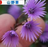 にほんブログ村 花・園芸ブログ 山野草・高山植物へ