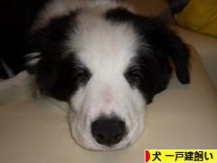 にほんブログ村 犬ブログ 犬 一戸建飼いへ