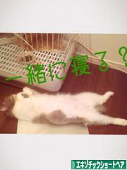 にほんブログ村 猫ブログ エキゾチックショートヘアへ
