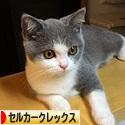にほんブログ村 猫ブログ セルカークレックスへ