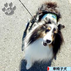 にほんブログ村 犬ブログ 車椅子犬へ