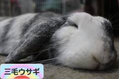 にほんブログ村 うさぎブログ 三毛ウサギへ