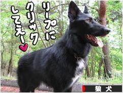 にほんブログ村 犬ブログ 狼犬へ