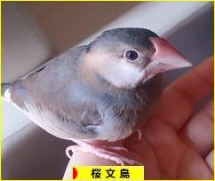 にほんブログ村 鳥ブログ 桜文鳥へ