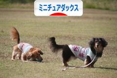 にほんブログ村 犬ブログ ミニチュアダックスフンドへ