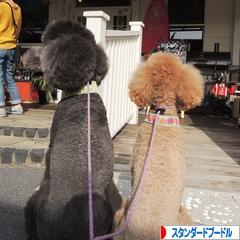 にほんブログ村 犬ブログ スタンダードプードルへ
