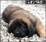 にほんブログ村 犬ブログ レオンベルガーへ