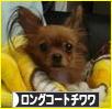 https://dog.blogmura.com/chihuahua_longcoat/img/originalimg/0000088043.jpg